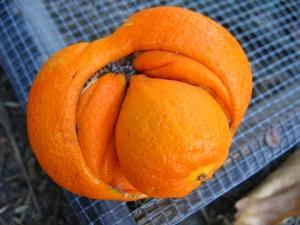 Fuku-orange